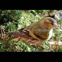 vogel vinkensoorten