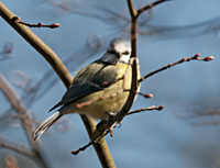 photo of The Blue Tit (Cyanistes caeruleus)
