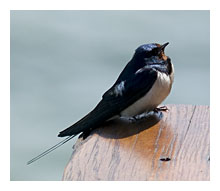 photo of Barn Swallow, Hirundo Rustica