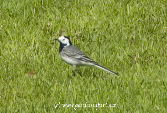 photo of White Wagtail, Motacilla Alba