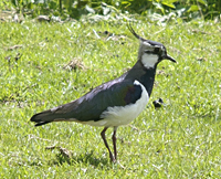 photo of Northern Lapwing (Vanellus vanellus)