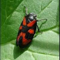 Photograph of Cercopis vulnerata