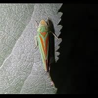 picture Rhododendron Leafhopper
