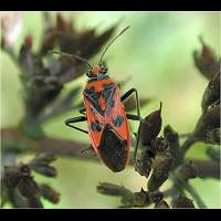 Photograph of Corizus hyoscyami