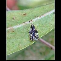 Photograph of Andromeda Lace Bug
