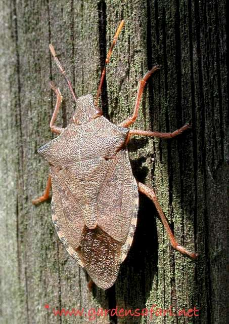Gardensafari shield bugs with lots of pictures arma custos sciox Images