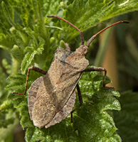 picture Dock Leaf Bug