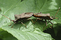 picture Brown Squash Bug