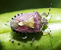picture of Dolycoris baccarum