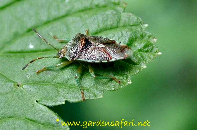 Photograph Elasmucha grisea  Parent Bug Elasmucha grisea. Gardensafari Shield Bugs  with lots of pictures