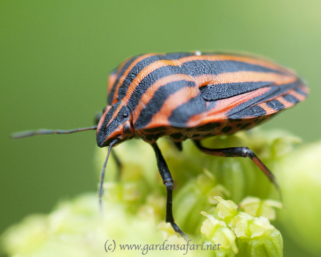 Photograph Striped Shieldbug. Gardensafari Shield Bugs  with lots of pictures