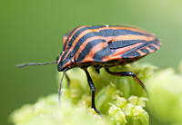 Photograph Striped Shieldbug