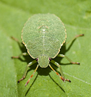 photograph of th Green Shield Bug