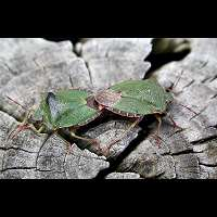 picture Green Stink Bug