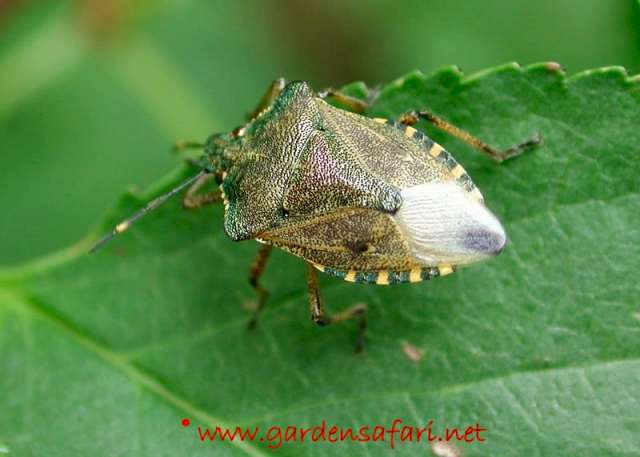 Gardensafari Shield Bugs (with lots of pictures)