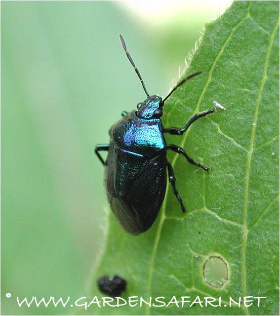 Photograph Blue Bug. Gardensafari Shield Bugs  with lots of pictures