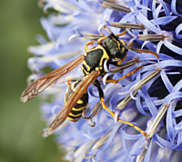 European Paper Wasp or Dominulus Paper Wasp (Polistes dominula)