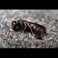 picture Mason Wasp