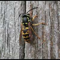 Photograph of a Yellow Jacket