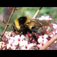 photograph Bombus hortorum