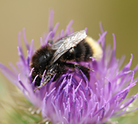 picture of Bombus lapidarius with red tail being white
