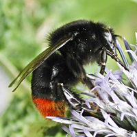 picture of Red-tailed Bumblebee
