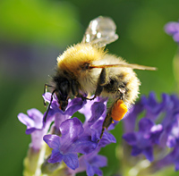 picture Common Carder Bee