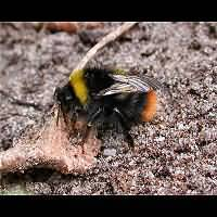 picture Early Bumblebee