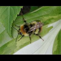 picture Bombus pratorum