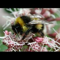 Photograph of a Bumblebee