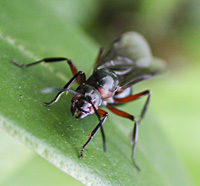 picture Red Wood Ant