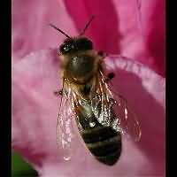 Photograph of a Bee
