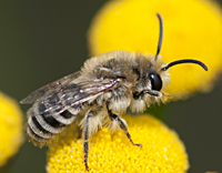 photo of Colletes daviesanus
