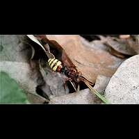 picture Common Wasp Bee