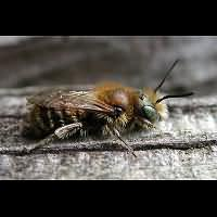 picture Blue Mason Bee