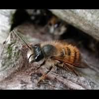 picture Red Mason Bee