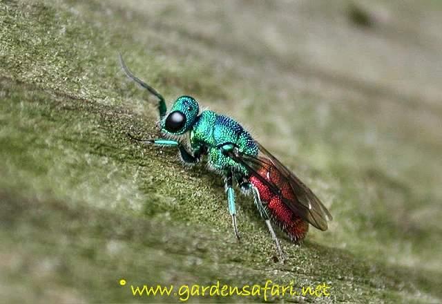 Gardensafari Wasps, Sawflies, Ants and Bees (Hymenoptera) with ...
