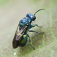 picture of Pseudomalus violaceus