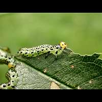 picture of Large Rose Sawfly, Arge pagana