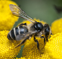 picture of mining bee Andrena denticulata