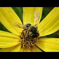 picture Andrena flavipes