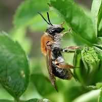 Photograph of a Mining Bee