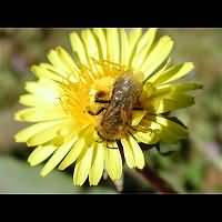 picture Andrena tibialis