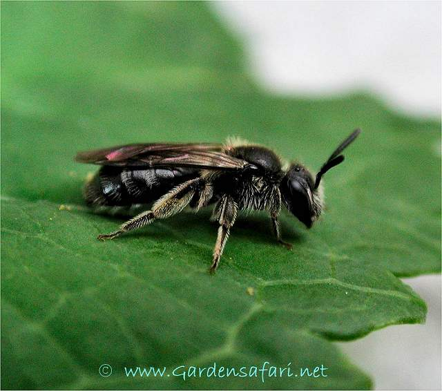 Gardensafari Mining Bees Andrena Sp With Lots Of Pictures