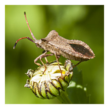 photo of the Dock Leaf Bug (Coreus marginatus)