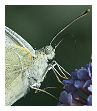 photo of the Large White (Pieris brassicae)